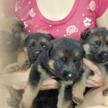German Shepherd Puppies North Carolina