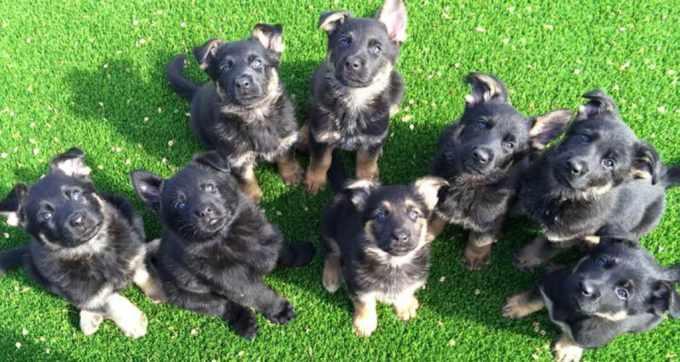 German Shepherd Puppies Oklahoma