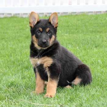 German Shepherd Puppies Oregon Craigslist