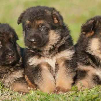 German Shepherd Puppies Phoenix