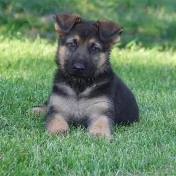 German Shepherd Puppies Purebred