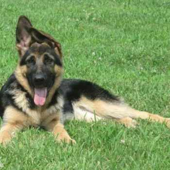 German Shepherd Puppies Raleigh Nc