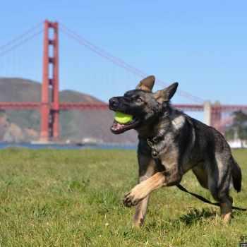 German Shepherd Puppies San Francisco