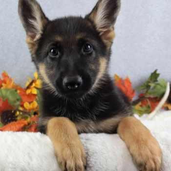 German Shepherd Puppies Texas