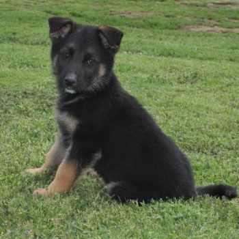 German Shepherd Puppies Tulsa