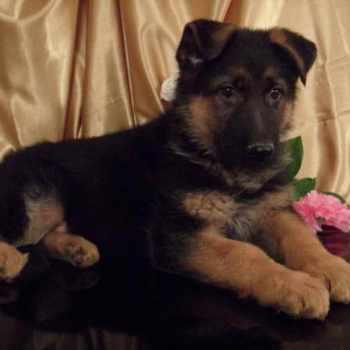 German Shepherd Puppies Under 200 Dollars