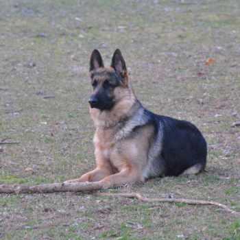German Shepherd Puppies Virginia