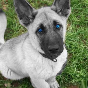 German Shepherd Puppies With Blue Eyes For Sale