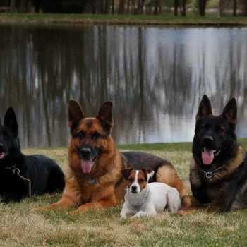 German Shepherd Puppies Wv