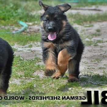 German Shepherd Puppy Behavior Stages