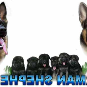German Shepherd Puppy For Sale Nc