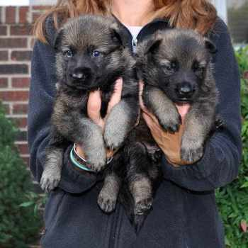German Shepherd Puppy Rescue Nc