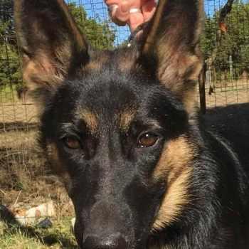German Shepherd Puppy Rescue Texas