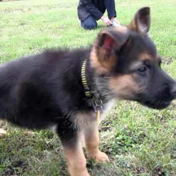 German Shepherd Puppy Videos
