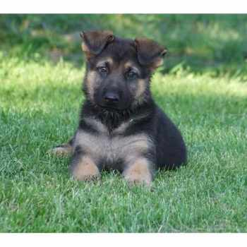German Shepherd Pups For Sale Near Me