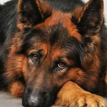 German Shepherd Red And Black