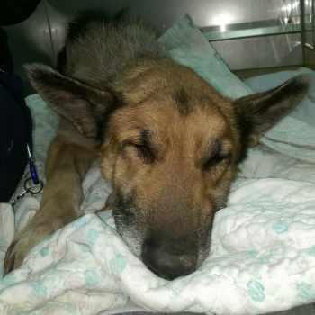 German Shepherd Rescue Kansas City