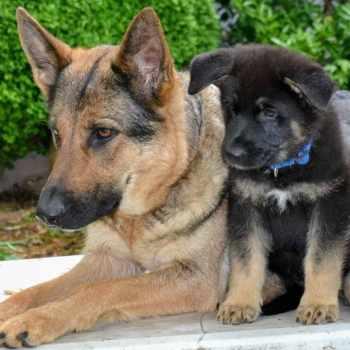 German Shepherd Rescue Maryland