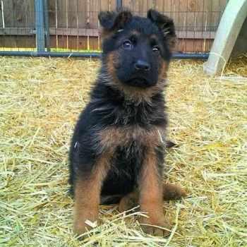 German Shepherd Rescue Okc