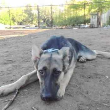 German Shepherd Rescue San Diego