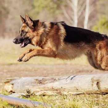 German Shepherd Research