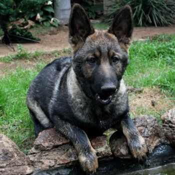 German Shepherd Sable Puppies For Sale