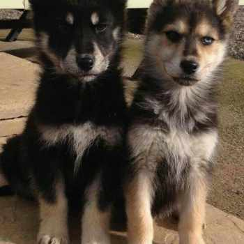 German Shepherd Siberian Husky Puppies For Sale