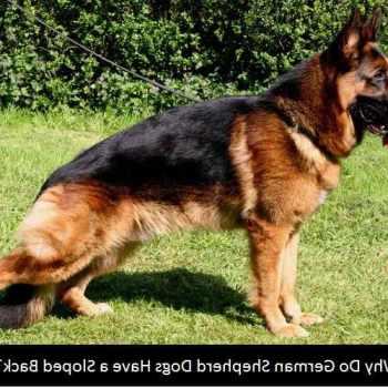 German Shepherd Sloped Back