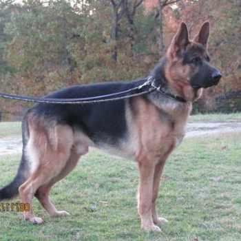 German Shepherd South Carolina