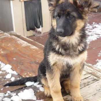 German Shepherd Spokane