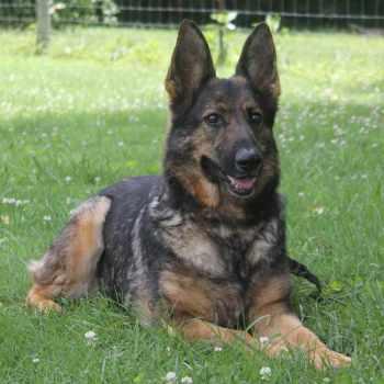 German Shepherd Tennessee