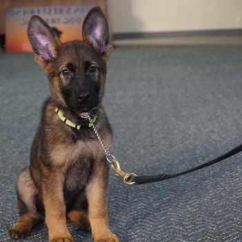 German Shepherd Trained Dog For Sale