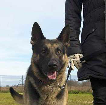German Shepherd Training Atlanta