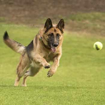 German Shepherd Training San Diego