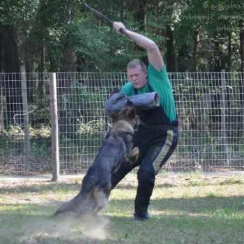 German Shepherd Training Tampa