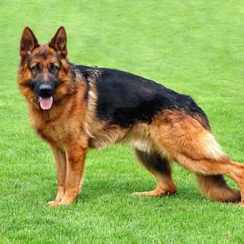 German Shepherd Training Video