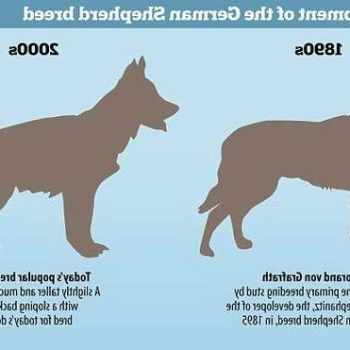 German Shepherd Without Sloped Back