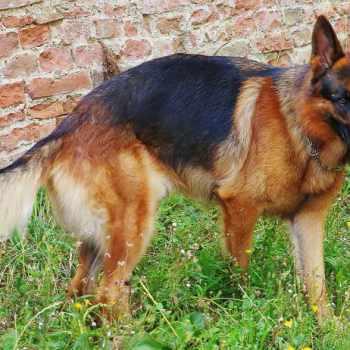 German Show Line German Shepherd