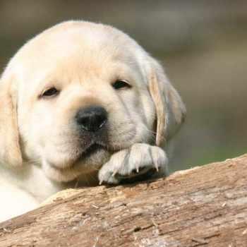 Getting A Labrador Puppy