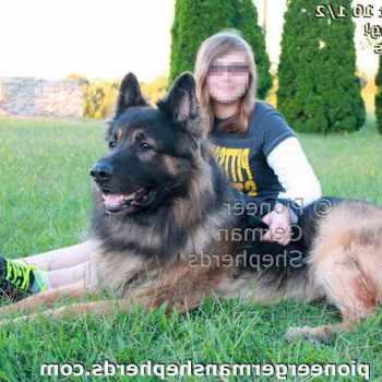 Giant German Shepherd Puppies
