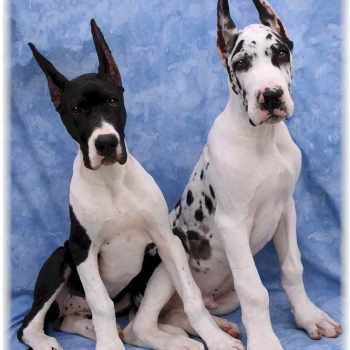 Giant Great Dane Puppies For Sale