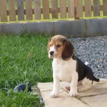 Girl Beagle