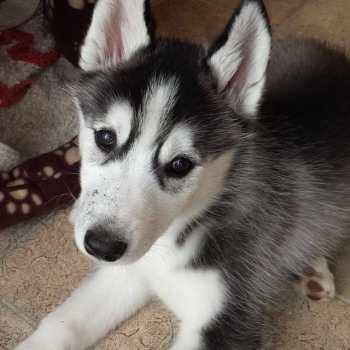 Girl Husky Puppy