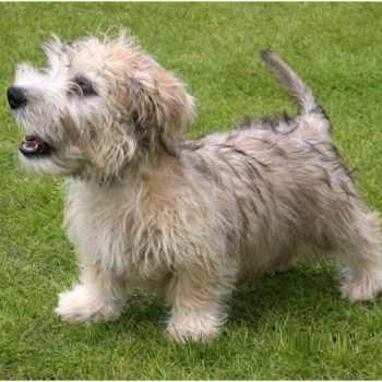 Glen Of Imaal Terrier Price Range