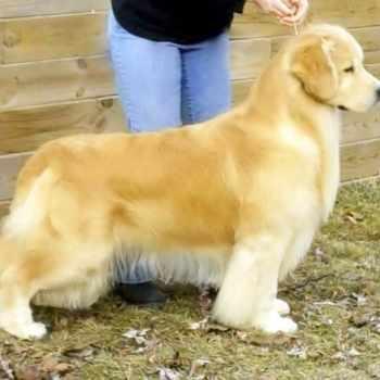 Gold Rush Golden Retriever Puppies