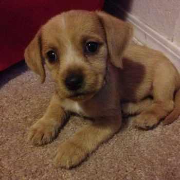Golden Beagle