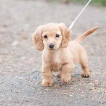 Golden Dachshund Puppies