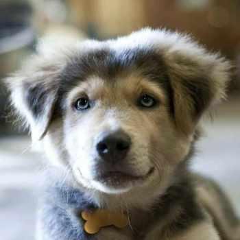 Golden Husky Puppy