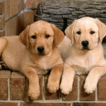 Golden Labrador Breeders