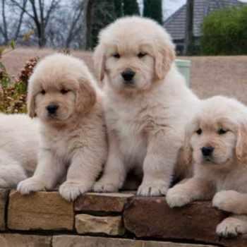 Golden Retriever Adoption Dallas